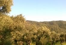Dünyada Zeytin Ağacı ve Periyodisite