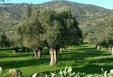 Zeytin Ağacı ve Dünyadaki Üretim