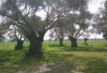 Zeytin Ağacı Türleri